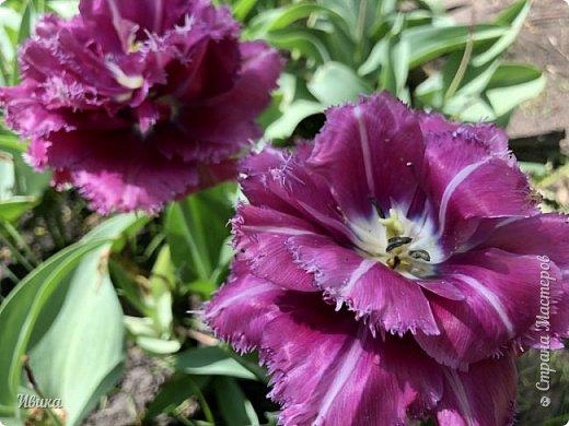 Здравствуйте, дорогие соседи!  Уже и середина лета. А я вот хочу вам напомнить о весне. Весна-цветы-тюльпаны. Это, наверное, у многих так воспринимается. Эти фото сделаны в Кировоградском городском дендропарке (нынче г.Кропивницкий, Украина). Немножко опоздали. Пик цветения был на недельку раньше. А всё же красиво! Идём гулять по аллеям парка.    фото 14