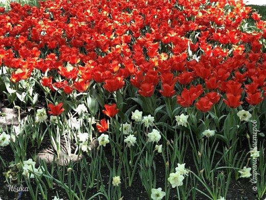 Здравствуйте, дорогие соседи!  Уже и середина лета. А я вот хочу вам напомнить о весне. Весна-цветы-тюльпаны. Это, наверное, у многих так воспринимается. Эти фото сделаны в Кировоградском городском дендропарке (нынче г.Кропивницкий, Украина). Немножко опоздали. Пик цветения был на недельку раньше. А всё же красиво! Идём гулять по аллеям парка.    фото 27