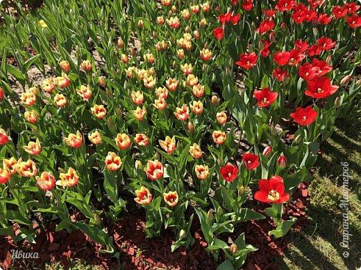 Здравствуйте, дорогие соседи!  Уже и середина лета. А я вот хочу вам напомнить о весне. Весна-цветы-тюльпаны. Это, наверное, у многих так воспринимается. Эти фото сделаны в Кировоградском городском дендропарке (нынче г.Кропивницкий, Украина). Немножко опоздали. Пик цветения был на недельку раньше. А всё же красиво! Идём гулять по аллеям парка.    фото 57