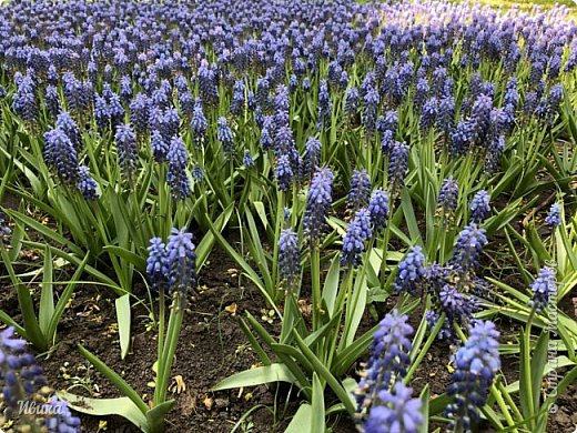 Здравствуйте, дорогие соседи!  Уже и середина лета. А я вот хочу вам напомнить о весне. Весна-цветы-тюльпаны. Это, наверное, у многих так воспринимается. Эти фото сделаны в Кировоградском городском дендропарке (нынче г.Кропивницкий, Украина). Немножко опоздали. Пик цветения был на недельку раньше. А всё же красиво! Идём гулять по аллеям парка.    фото 8