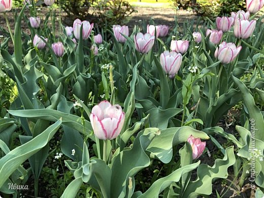 Здравствуйте, дорогие соседи!  Уже и середина лета. А я вот хочу вам напомнить о весне. Весна-цветы-тюльпаны. Это, наверное, у многих так воспринимается. Эти фото сделаны в Кировоградском городском дендропарке (нынче г.Кропивницкий, Украина). Немножко опоздали. Пик цветения был на недельку раньше. А всё же красиво! Идём гулять по аллеям парка.    фото 39