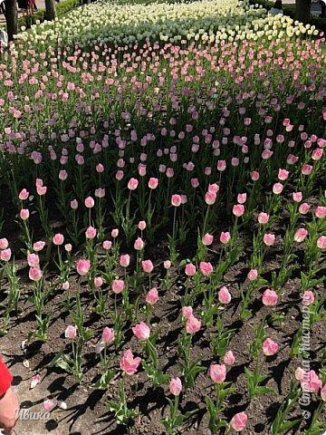 Здравствуйте, дорогие соседи!  Уже и середина лета. А я вот хочу вам напомнить о весне. Весна-цветы-тюльпаны. Это, наверное, у многих так воспринимается. Эти фото сделаны в Кировоградском городском дендропарке (нынче г.Кропивницкий, Украина). Немножко опоздали. Пик цветения был на недельку раньше. А всё же красиво! Идём гулять по аллеям парка.    фото 30