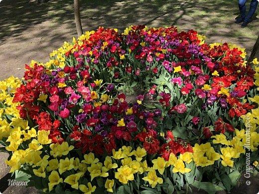 Здравствуйте, дорогие соседи!  Уже и середина лета. А я вот хочу вам напомнить о весне. Весна-цветы-тюльпаны. Это, наверное, у многих так воспринимается. Эти фото сделаны в Кировоградском городском дендропарке (нынче г.Кропивницкий, Украина). Немножко опоздали. Пик цветения был на недельку раньше. А всё же красиво! Идём гулять по аллеям парка.    фото 42