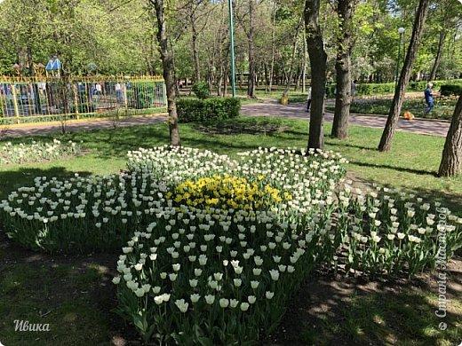 Здравствуйте, дорогие соседи!  Уже и середина лета. А я вот хочу вам напомнить о весне. Весна-цветы-тюльпаны. Это, наверное, у многих так воспринимается. Эти фото сделаны в Кировоградском городском дендропарке (нынче г.Кропивницкий, Украина). Немножко опоздали. Пик цветения был на недельку раньше. А всё же красиво! Идём гулять по аллеям парка.    фото 33