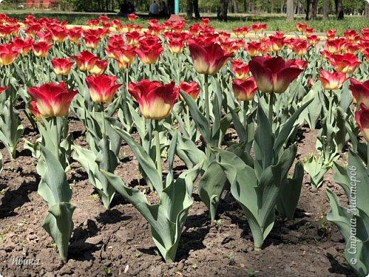 Здравствуйте, дорогие соседи!  Уже и середина лета. А я вот хочу вам напомнить о весне. Весна-цветы-тюльпаны. Это, наверное, у многих так воспринимается. Эти фото сделаны в Кировоградском городском дендропарке (нынче г.Кропивницкий, Украина). Немножко опоздали. Пик цветения был на недельку раньше. А всё же красиво! Идём гулять по аллеям парка.    фото 1