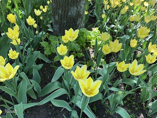 Здравствуйте, дорогие соседи!  Уже и середина лета. А я вот хочу вам напомнить о весне. Весна-цветы-тюльпаны. Это, наверное, у многих так воспринимается. Эти фото сделаны в Кировоградском городском дендропарке (нынче г.Кропивницкий, Украина). Немножко опоздали. Пик цветения был на недельку раньше. А всё же красиво! Идём гулять по аллеям парка.    фото 11