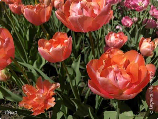 Здравствуйте, дорогие соседи!  Уже и середина лета. А я вот хочу вам напомнить о весне. Весна-цветы-тюльпаны. Это, наверное, у многих так воспринимается. Эти фото сделаны в Кировоградском городском дендропарке (нынче г.Кропивницкий, Украина). Немножко опоздали. Пик цветения был на недельку раньше. А всё же красиво! Идём гулять по аллеям парка.    фото 45