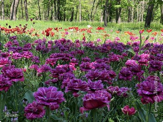 Здравствуйте, дорогие соседи!  Уже и середина лета. А я вот хочу вам напомнить о весне. Весна-цветы-тюльпаны. Это, наверное, у многих так воспринимается. Эти фото сделаны в Кировоградском городском дендропарке (нынче г.Кропивницкий, Украина). Немножко опоздали. Пик цветения был на недельку раньше. А всё же красиво! Идём гулять по аллеям парка.    фото 3