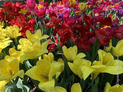 Здравствуйте, дорогие соседи!  Уже и середина лета. А я вот хочу вам напомнить о весне. Весна-цветы-тюльпаны. Это, наверное, у многих так воспринимается. Эти фото сделаны в Кировоградском городском дендропарке (нынче г.Кропивницкий, Украина). Немножко опоздали. Пик цветения был на недельку раньше. А всё же красиво! Идём гулять по аллеям парка.    фото 43