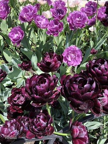 Здравствуйте, дорогие соседи!  Уже и середина лета. А я вот хочу вам напомнить о весне. Весна-цветы-тюльпаны. Это, наверное, у многих так воспринимается. Эти фото сделаны в Кировоградском городском дендропарке (нынче г.Кропивницкий, Украина). Немножко опоздали. Пик цветения был на недельку раньше. А всё же красиво! Идём гулять по аллеям парка.    фото 52