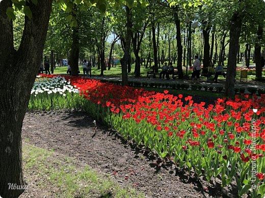 Здравствуйте, дорогие соседи!  Уже и середина лета. А я вот хочу вам напомнить о весне. Весна-цветы-тюльпаны. Это, наверное, у многих так воспринимается. Эти фото сделаны в Кировоградском городском дендропарке (нынче г.Кропивницкий, Украина). Немножко опоздали. Пик цветения был на недельку раньше. А всё же красиво! Идём гулять по аллеям парка.    фото 31