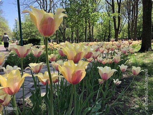 Здравствуйте, дорогие соседи!  Уже и середина лета. А я вот хочу вам напомнить о весне. Весна-цветы-тюльпаны. Это, наверное, у многих так воспринимается. Эти фото сделаны в Кировоградском городском дендропарке (нынче г.Кропивницкий, Украина). Немножко опоздали. Пик цветения был на недельку раньше. А всё же красиво! Идём гулять по аллеям парка.    фото 23