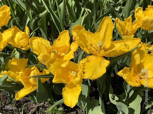Здравствуйте, дорогие соседи!  Уже и середина лета. А я вот хочу вам напомнить о весне. Весна-цветы-тюльпаны. Это, наверное, у многих так воспринимается. Эти фото сделаны в Кировоградском городском дендропарке (нынче г.Кропивницкий, Украина). Немножко опоздали. Пик цветения был на недельку раньше. А всё же красиво! Идём гулять по аллеям парка.    фото 46
