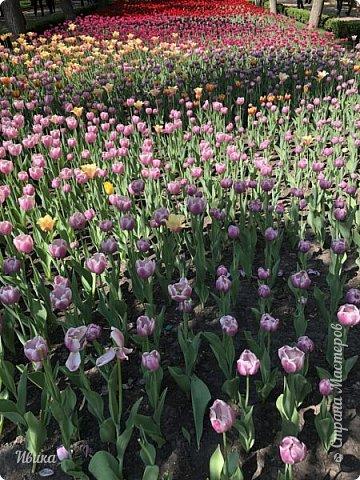 Здравствуйте, дорогие соседи!  Уже и середина лета. А я вот хочу вам напомнить о весне. Весна-цветы-тюльпаны. Это, наверное, у многих так воспринимается. Эти фото сделаны в Кировоградском городском дендропарке (нынче г.Кропивницкий, Украина). Немножко опоздали. Пик цветения был на недельку раньше. А всё же красиво! Идём гулять по аллеям парка.    фото 29