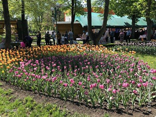Здравствуйте, дорогие соседи!  Уже и середина лета. А я вот хочу вам напомнить о весне. Весна-цветы-тюльпаны. Это, наверное, у многих так воспринимается. Эти фото сделаны в Кировоградском городском дендропарке (нынче г.Кропивницкий, Украина). Немножко опоздали. Пик цветения был на недельку раньше. А всё же красиво! Идём гулять по аллеям парка.    фото 35