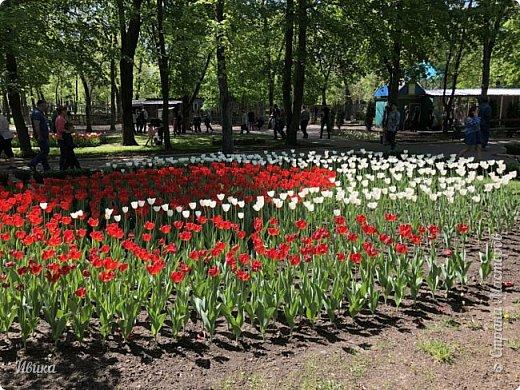 Здравствуйте, дорогие соседи!  Уже и середина лета. А я вот хочу вам напомнить о весне. Весна-цветы-тюльпаны. Это, наверное, у многих так воспринимается. Эти фото сделаны в Кировоградском городском дендропарке (нынче г.Кропивницкий, Украина). Немножко опоздали. Пик цветения был на недельку раньше. А всё же красиво! Идём гулять по аллеям парка.    фото 32