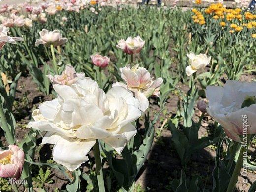 Здравствуйте, дорогие соседи!  Уже и середина лета. А я вот хочу вам напомнить о весне. Весна-цветы-тюльпаны. Это, наверное, у многих так воспринимается. Эти фото сделаны в Кировоградском городском дендропарке (нынче г.Кропивницкий, Украина). Немножко опоздали. Пик цветения был на недельку раньше. А всё же красиво! Идём гулять по аллеям парка.    фото 5