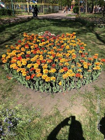 Здравствуйте, дорогие соседи!  Уже и середина лета. А я вот хочу вам напомнить о весне. Весна-цветы-тюльпаны. Это, наверное, у многих так воспринимается. Эти фото сделаны в Кировоградском городском дендропарке (нынче г.Кропивницкий, Украина). Немножко опоздали. Пик цветения был на недельку раньше. А всё же красиво! Идём гулять по аллеям парка.    фото 21