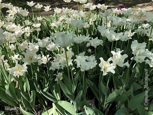 Здравствуйте, дорогие соседи!  Уже и середина лета. А я вот хочу вам напомнить о весне. Весна-цветы-тюльпаны. Это, наверное, у многих так воспринимается. Эти фото сделаны в Кировоградском городском дендропарке (нынче г.Кропивницкий, Украина). Немножко опоздали. Пик цветения был на недельку раньше. А всё же красиво! Идём гулять по аллеям парка.    фото 15
