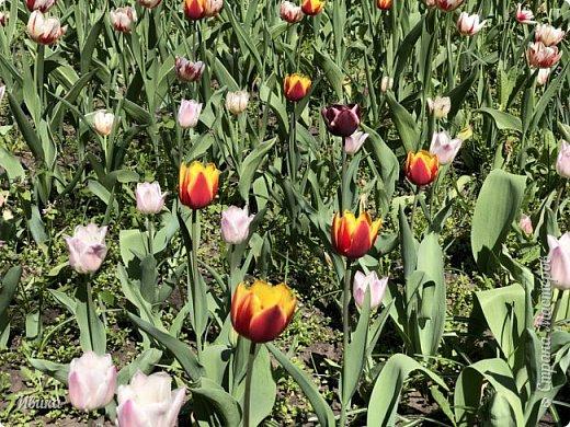 Здравствуйте, дорогие соседи!  Уже и середина лета. А я вот хочу вам напомнить о весне. Весна-цветы-тюльпаны. Это, наверное, у многих так воспринимается. Эти фото сделаны в Кировоградском городском дендропарке (нынче г.Кропивницкий, Украина). Немножко опоздали. Пик цветения был на недельку раньше. А всё же красиво! Идём гулять по аллеям парка.    фото 4