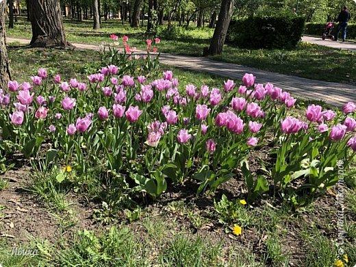 Здравствуйте, дорогие соседи!  Уже и середина лета. А я вот хочу вам напомнить о весне. Весна-цветы-тюльпаны. Это, наверное, у многих так воспринимается. Эти фото сделаны в Кировоградском городском дендропарке (нынче г.Кропивницкий, Украина). Немножко опоздали. Пик цветения был на недельку раньше. А всё же красиво! Идём гулять по аллеям парка.    фото 24
