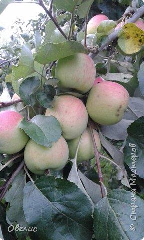 Здравствуйте ! Сегодня я с фоторепортажем об урожае прошлых лет  на даче. Обычный стандартный набор овощей и фруктов. Посмотрите сами: Охрана урожая фото 16