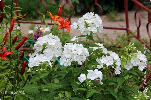 Здравствуйте,дорогие!!! В этом году лето очень радует! Тепло,даже жарко,бывает до +30,но и дождики временами проходят. И,по сравнению с прошлым летом,вижу очень много бабочек!!! Причём,разных,некоторых даже раньше не видела )) И везде(и на огороде,и на поле) много цветов... фото 7