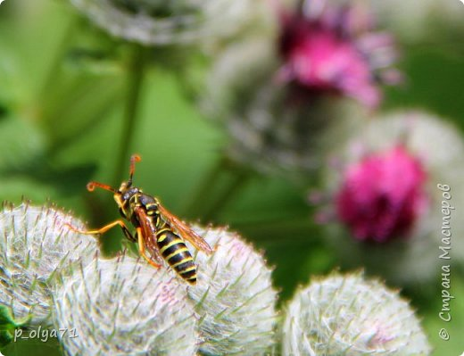 Здравствуйте,дорогие!!! В этом году лето очень радует! Тепло,даже жарко,бывает до +30,но и дождики временами проходят. И,по сравнению с прошлым летом,вижу очень много бабочек!!! Причём,разных,некоторых даже раньше не видела )) И везде(и на огороде,и на поле) много цветов... фото 13