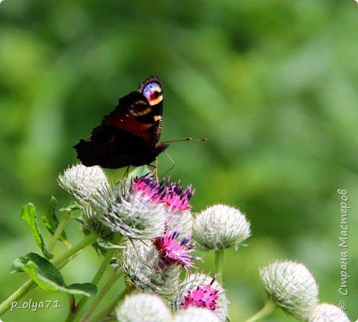 Здравствуйте,дорогие!!! В этом году лето очень радует! Тепло,даже жарко,бывает до +30,но и дождики временами проходят. И,по сравнению с прошлым летом,вижу очень много бабочек!!! Причём,разных,некоторых даже раньше не видела )) И везде(и на огороде,и на поле) много цветов... фото 14