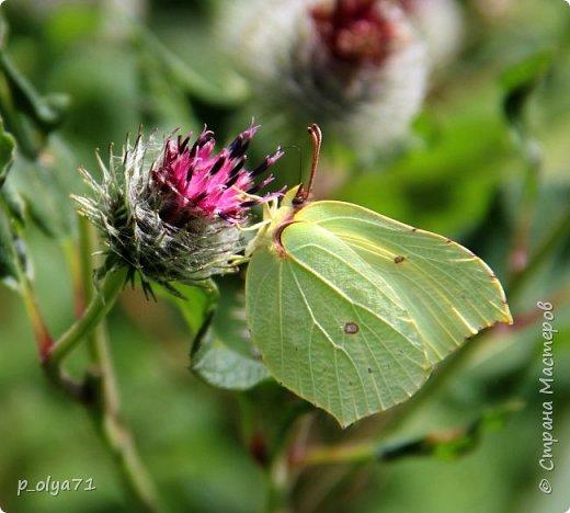 Здравствуйте,дорогие!!! В этом году лето очень радует! Тепло,даже жарко,бывает до +30,но и дождики временами проходят. И,по сравнению с прошлым летом,вижу очень много бабочек!!! Причём,разных,некоторых даже раньше не видела )) И везде(и на огороде,и на поле) много цветов... фото 15