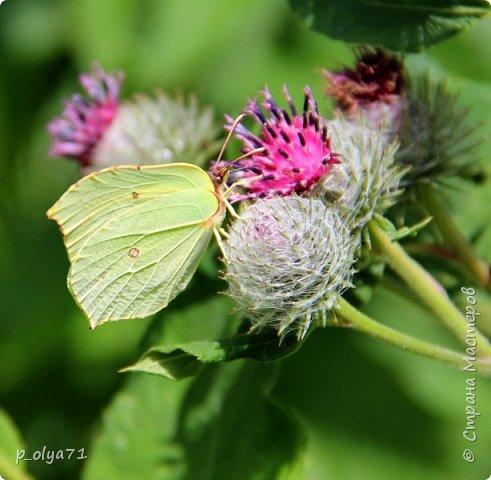 Здравствуйте,дорогие!!! В этом году лето очень радует! Тепло,даже жарко,бывает до +30,но и дождики временами проходят. И,по сравнению с прошлым летом,вижу очень много бабочек!!! Причём,разных,некоторых даже раньше не видела )) И везде(и на огороде,и на поле) много цветов... фото 1