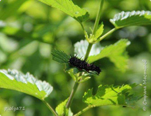 Здравствуйте,дорогие!!! В этом году лето очень радует! Тепло,даже жарко,бывает до +30,но и дождики временами проходят. И,по сравнению с прошлым летом,вижу очень много бабочек!!! Причём,разных,некоторых даже раньше не видела )) И везде(и на огороде,и на поле) много цветов... фото 17