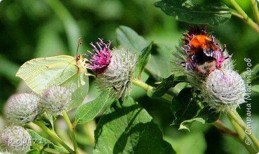 Здравствуйте,дорогие!!! В этом году лето очень радует! Тепло,даже жарко,бывает до +30,но и дождики временами проходят. И,по сравнению с прошлым летом,вижу очень много бабочек!!! Причём,разных,некоторых даже раньше не видела )) И везде(и на огороде,и на поле) много цветов... фото 19