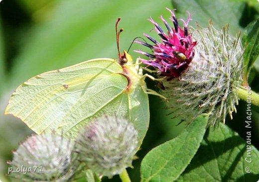 Здравствуйте,дорогие!!! В этом году лето очень радует! Тепло,даже жарко,бывает до +30,но и дождики временами проходят. И,по сравнению с прошлым летом,вижу очень много бабочек!!! Причём,разных,некоторых даже раньше не видела )) И везде(и на огороде,и на поле) много цветов... фото 20