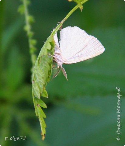 Здравствуйте,дорогие!!! В этом году лето очень радует! Тепло,даже жарко,бывает до +30,но и дождики временами проходят. И,по сравнению с прошлым летом,вижу очень много бабочек!!! Причём,разных,некоторых даже раньше не видела )) И везде(и на огороде,и на поле) много цветов... фото 25