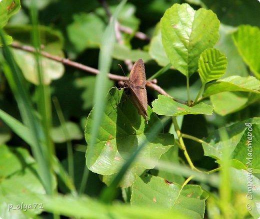 Здравствуйте,дорогие!!! В этом году лето очень радует! Тепло,даже жарко,бывает до +30,но и дождики временами проходят. И,по сравнению с прошлым летом,вижу очень много бабочек!!! Причём,разных,некоторых даже раньше не видела )) И везде(и на огороде,и на поле) много цветов... фото 28