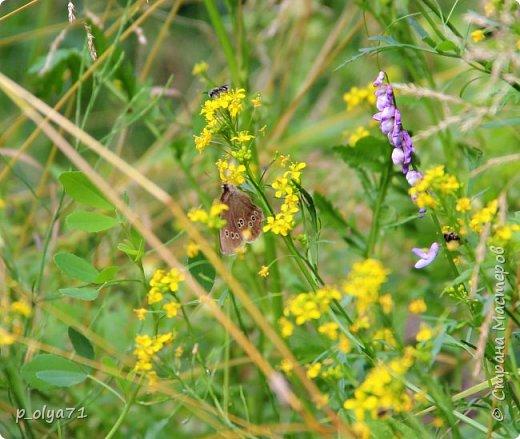 Здравствуйте,дорогие!!! В этом году лето очень радует! Тепло,даже жарко,бывает до +30,но и дождики временами проходят. И,по сравнению с прошлым летом,вижу очень много бабочек!!! Причём,разных,некоторых даже раньше не видела )) И везде(и на огороде,и на поле) много цветов... фото 27