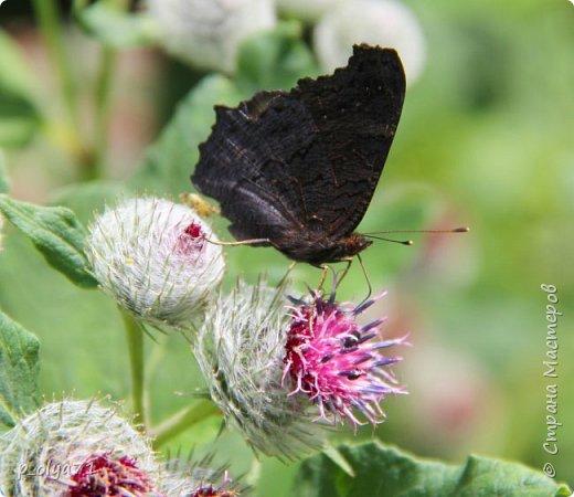 Здравствуйте,дорогие!!! В этом году лето очень радует! Тепло,даже жарко,бывает до +30,но и дождики временами проходят. И,по сравнению с прошлым летом,вижу очень много бабочек!!! Причём,разных,некоторых даже раньше не видела )) И везде(и на огороде,и на поле) много цветов... фото 31