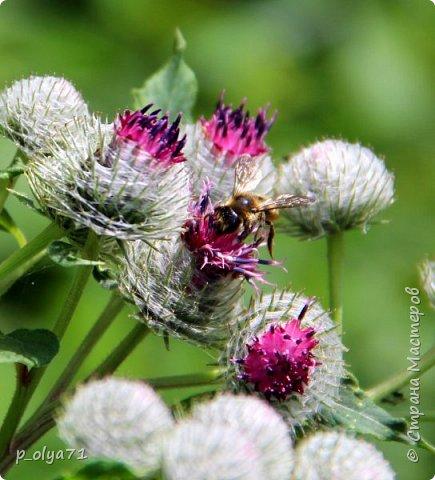 Здравствуйте,дорогие!!! В этом году лето очень радует! Тепло,даже жарко,бывает до +30,но и дождики временами проходят. И,по сравнению с прошлым летом,вижу очень много бабочек!!! Причём,разных,некоторых даже раньше не видела )) И везде(и на огороде,и на поле) много цветов... фото 24