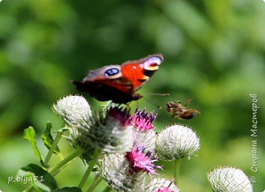 Здравствуйте,дорогие!!! В этом году лето очень радует! Тепло,даже жарко,бывает до +30,но и дождики временами проходят. И,по сравнению с прошлым летом,вижу очень много бабочек!!! Причём,разных,некоторых даже раньше не видела )) И везде(и на огороде,и на поле) много цветов... фото 22