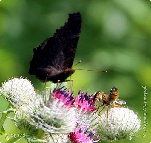 Здравствуйте,дорогие!!! В этом году лето очень радует! Тепло,даже жарко,бывает до +30,но и дождики временами проходят. И,по сравнению с прошлым летом,вижу очень много бабочек!!! Причём,разных,некоторых даже раньше не видела )) И везде(и на огороде,и на поле) много цветов... фото 23