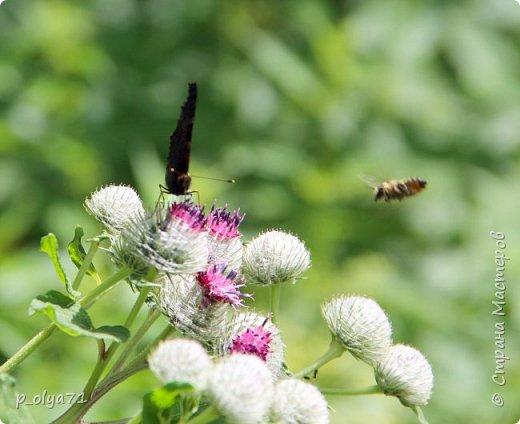 Здравствуйте,дорогие!!! В этом году лето очень радует! Тепло,даже жарко,бывает до +30,но и дождики временами проходят. И,по сравнению с прошлым летом,вижу очень много бабочек!!! Причём,разных,некоторых даже раньше не видела )) И везде(и на огороде,и на поле) много цветов... фото 21