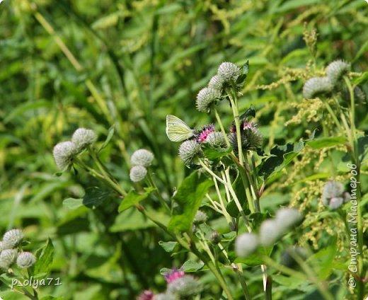 Здравствуйте,дорогие!!! В этом году лето очень радует! Тепло,даже жарко,бывает до +30,но и дождики временами проходят. И,по сравнению с прошлым летом,вижу очень много бабочек!!! Причём,разных,некоторых даже раньше не видела )) И везде(и на огороде,и на поле) много цветов... фото 32