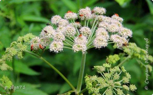 Здравствуйте,дорогие!!! В этом году лето очень радует! Тепло,даже жарко,бывает до +30,но и дождики временами проходят. И,по сравнению с прошлым летом,вижу очень много бабочек!!! Причём,разных,некоторых даже раньше не видела )) И везде(и на огороде,и на поле) много цветов... фото 9