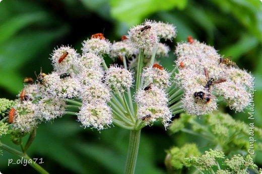 Здравствуйте,дорогие!!! В этом году лето очень радует! Тепло,даже жарко,бывает до +30,но и дождики временами проходят. И,по сравнению с прошлым летом,вижу очень много бабочек!!! Причём,разных,некоторых даже раньше не видела )) И везде(и на огороде,и на поле) много цветов... фото 10