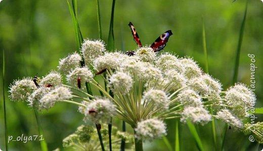 Здравствуйте,дорогие!!! В этом году лето очень радует! Тепло,даже жарко,бывает до +30,но и дождики временами проходят. И,по сравнению с прошлым летом,вижу очень много бабочек!!! Причём,разных,некоторых даже раньше не видела )) И везде(и на огороде,и на поле) много цветов... фото 11