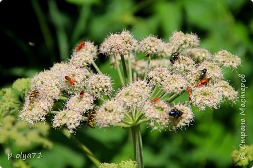 Здравствуйте,дорогие!!! В этом году лето очень радует! Тепло,даже жарко,бывает до +30,но и дождики временами проходят. И,по сравнению с прошлым летом,вижу очень много бабочек!!! Причём,разных,некоторых даже раньше не видела )) И везде(и на огороде,и на поле) много цветов... фото 12