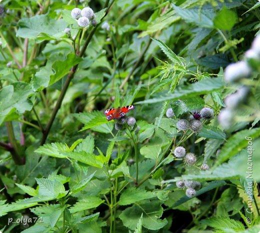 Здравствуйте,дорогие!!! В этом году лето очень радует! Тепло,даже жарко,бывает до +30,но и дождики временами проходят. И,по сравнению с прошлым летом,вижу очень много бабочек!!! Причём,разных,некоторых даже раньше не видела )) И везде(и на огороде,и на поле) много цветов... фото 33
