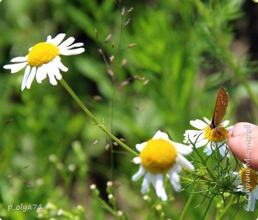 Здравствуйте,дорогие!!! В этом году лето очень радует! Тепло,даже жарко,бывает до +30,но и дождики временами проходят. И,по сравнению с прошлым летом,вижу очень много бабочек!!! Причём,разных,некоторых даже раньше не видела )) И везде(и на огороде,и на поле) много цветов... фото 81