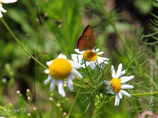 Здравствуйте,дорогие!!! В этом году лето очень радует! Тепло,даже жарко,бывает до +30,но и дождики временами проходят. И,по сравнению с прошлым летом,вижу очень много бабочек!!! Причём,разных,некоторых даже раньше не видела )) И везде(и на огороде,и на поле) много цветов... фото 80